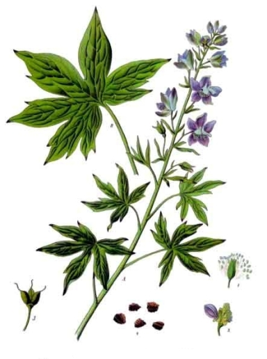 Delphinium_officinale_-_Köhler–s_Medizinal-Pflanzen-052